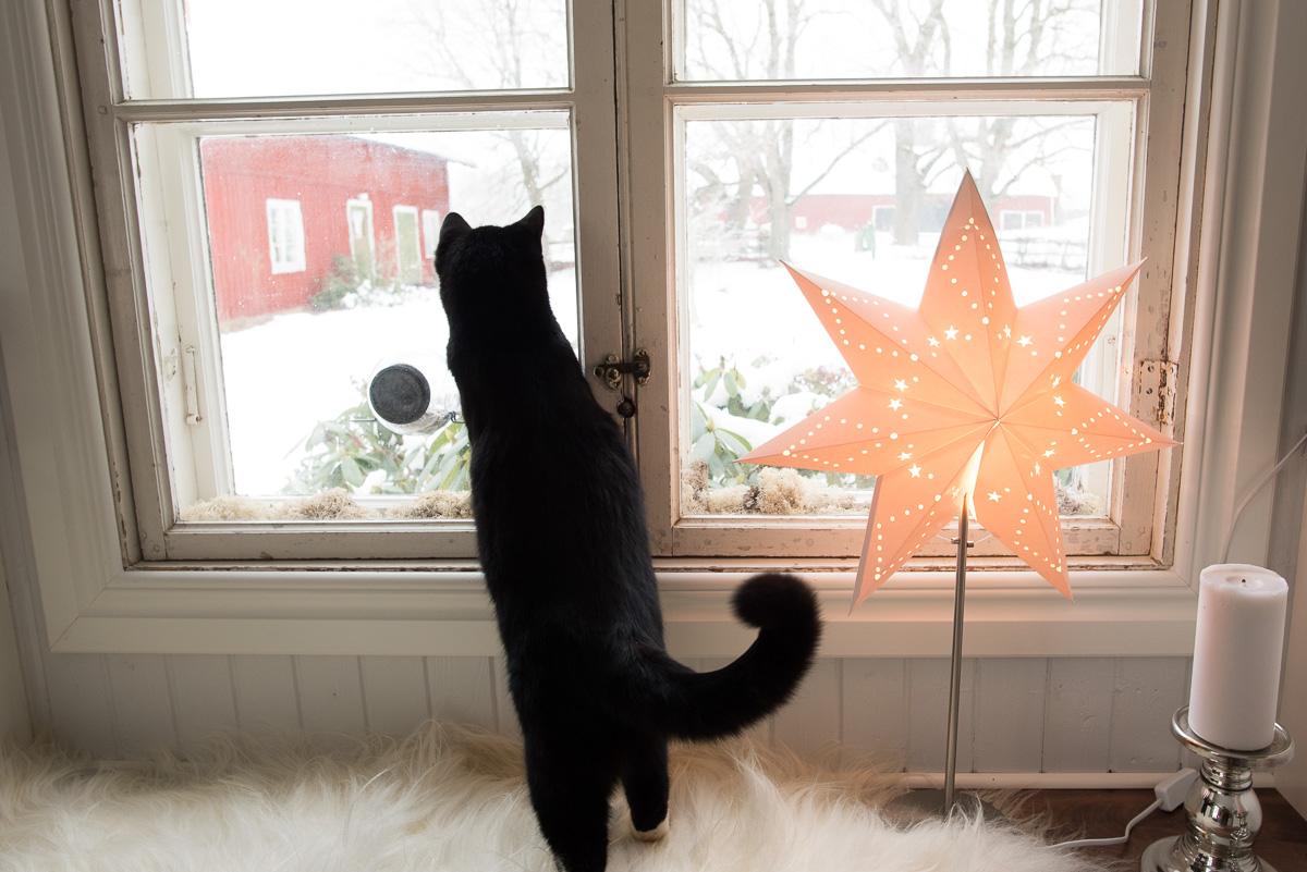 Fröstad Naturfoto - Katten Sture spanar ut på nytillkomna gäster