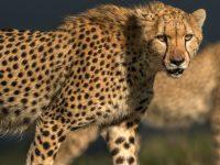 Graciös gepard i Masi Mara, Kenya.