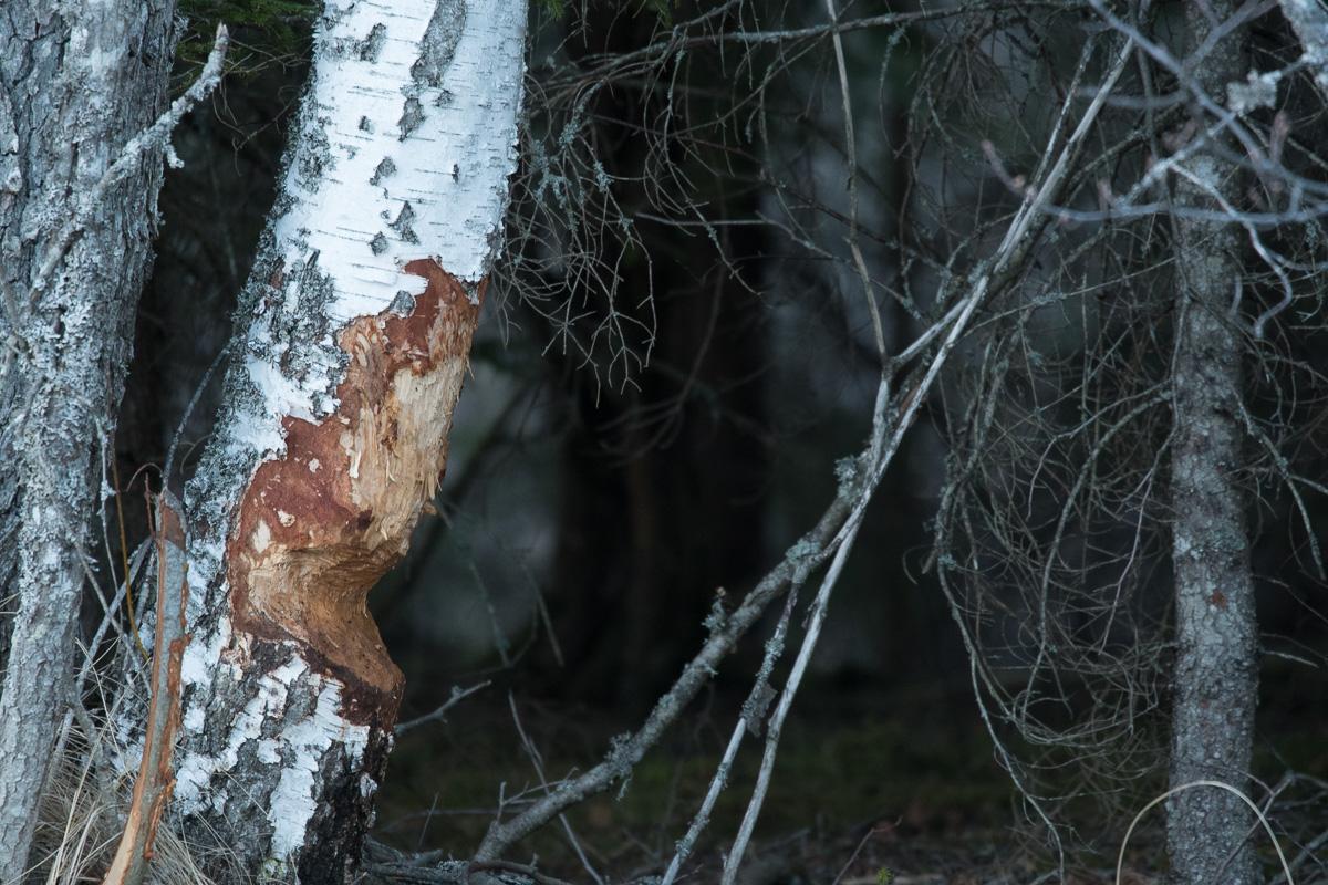 Spår av bävern finns överallt i landskapet