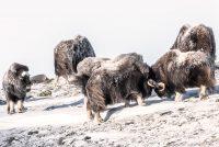Att fotografera myskoxen i Dovrefjell vintetid är något alldeles speciellt!