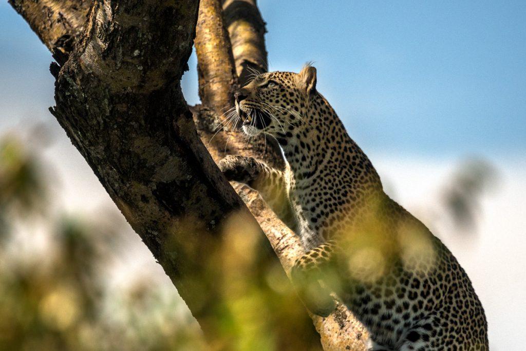Leopard klättrar i träd på en Kenya safari.