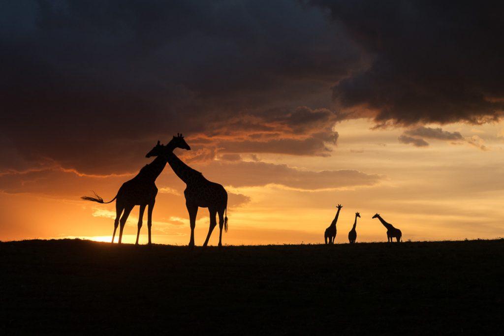 Giraffsilhuetter mot en exploderande kvällshimmel i Masi Mara, Kenya.