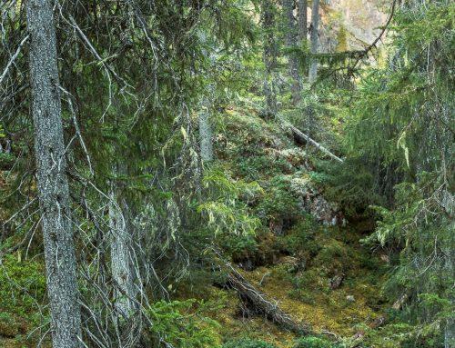 Vill du fotografera gammelskog? Flera tips finner du här!