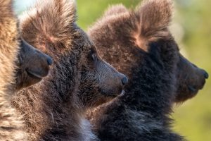 Fotografera brunbjörn på nära håll på denna fotoresa till Vilda Finland.