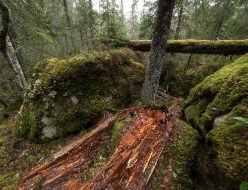 Ge dig ut i gammelskogen, här får du inspirationen!