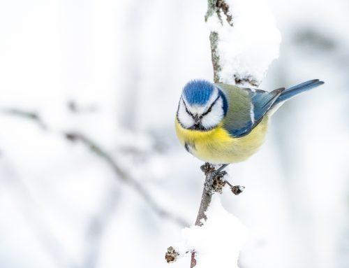 Inspiration till vinterfotografering av småfåglar