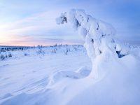 En klassisk tykkygran i det vackra och magiska snölandskapet i Riisitunturi nationalpark.