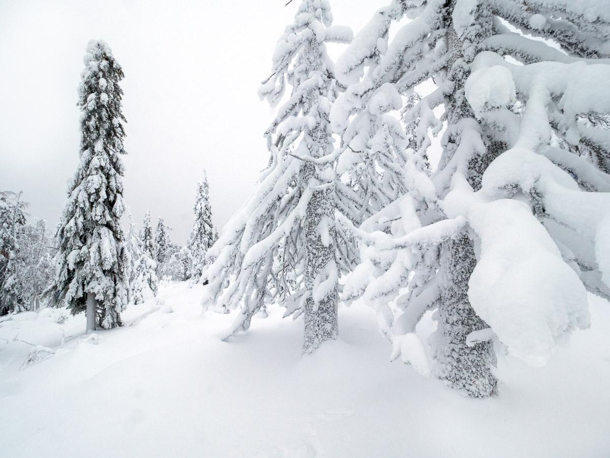 Ett landskap av vitt, ett grafiskt vinterlandskap i Gyllene ljus över en bugande tykkygran i Riisitunturi nationalpark.