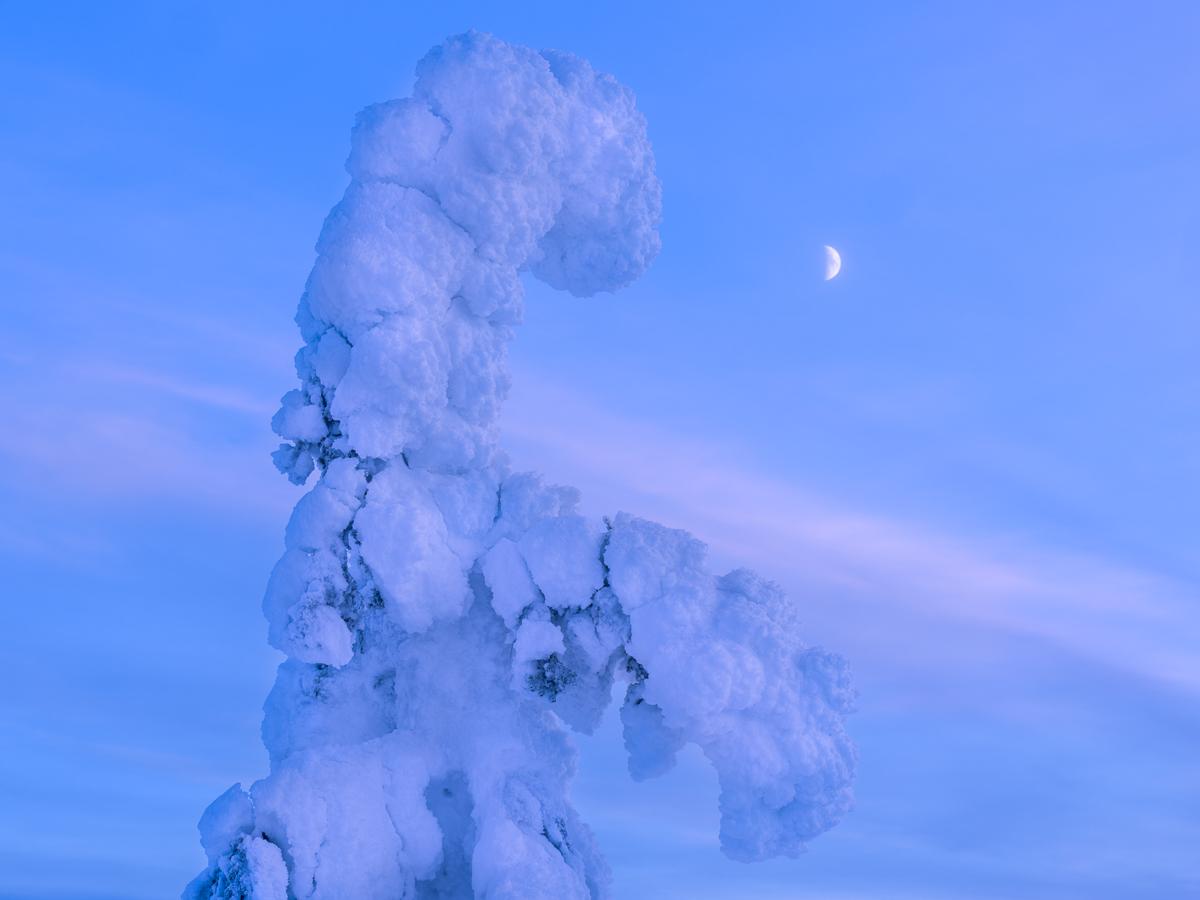 Månen över en tykkygran i Riisitunturi nationalpark..
