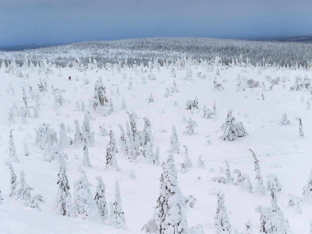 Skidåkare korsar vinterlandskapet i Utsikt över Stjärnor och tykkygran Riisitunturi nationalpark.