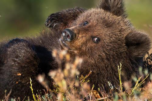 Björnar i Finland