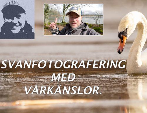 Svanfotografering med vårkänslor (ej vid Tysslingen)