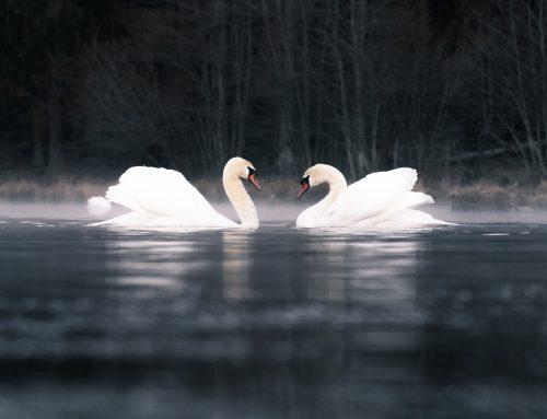 Morgonberättelser från svansjön & tips på svanfotografering.