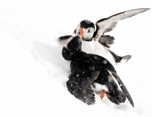 Allt om Varanger, arktiska fåglar.