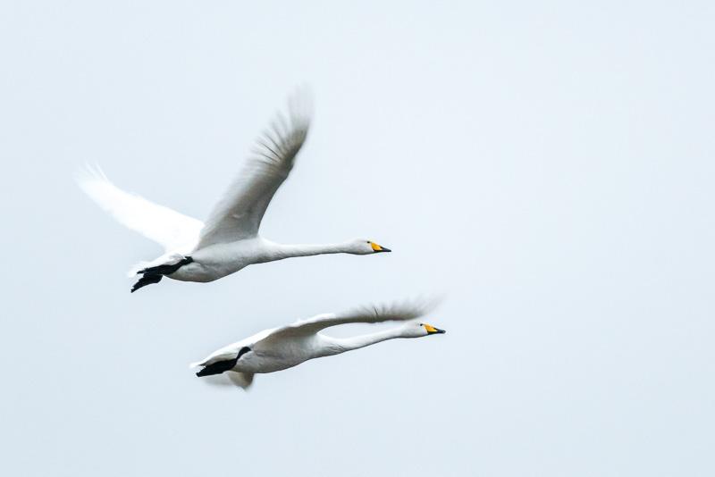 Sångsvanar flyger, Rosenkällasjön.