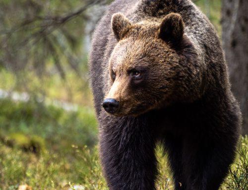 Finländska björnar och hur du skapar minnesvärda bilder från ett gömsle.