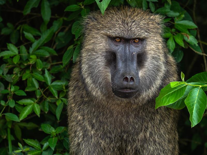 Babian närbild, Uganda. Fröstad Naturfoto.