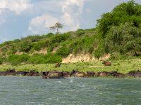 Buffel vid Kazinga kanalen. Uganda. Fröstad Naturfoto.