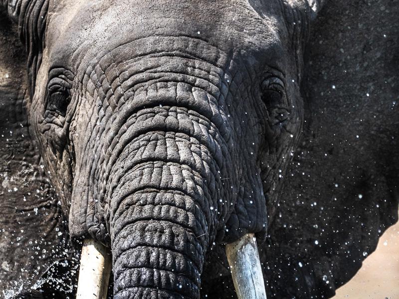 Elefant i Kazinga kanalen, Uganda. Fröstad Naturfoto.