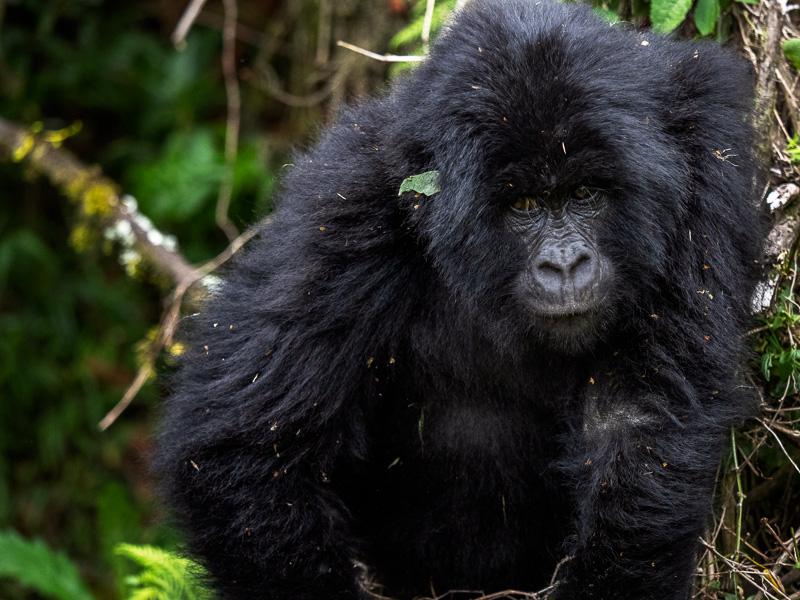 Gorilla på march, Uganda. Fröstad Naturfoto.
