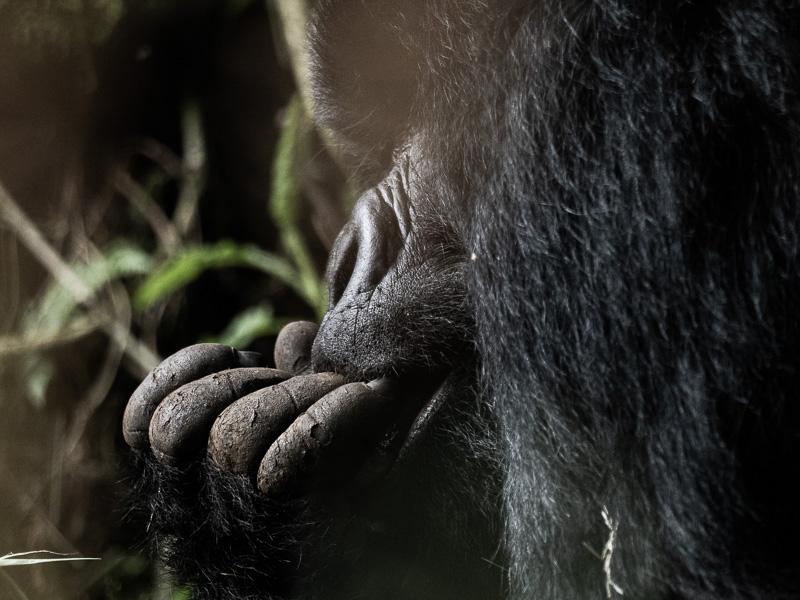 Gorilla som biter på sina fingrar. Fröstad Naturfoto. Uganda.