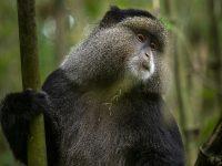 Guldmarkatta är en endemisk art i Virungabergen från Uganda, Fröstad Naturfoto.