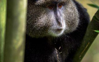 Guldmarkatta i närbild från Uganda, Fröstad Naturfoto.