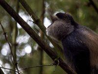 Guldmarkatta spanar, Uganda, Fröstad Naturfoto.