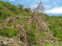 I toppen av ett träd, Uganda. Fröstad Naturfoto