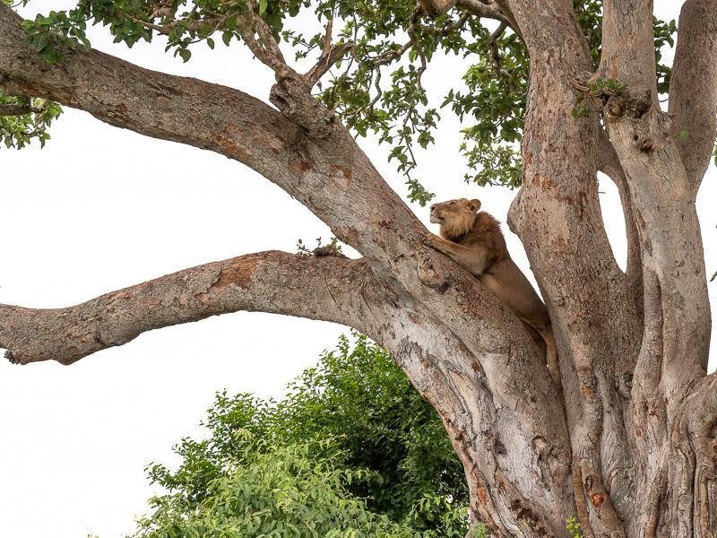Lejonhane i träd, Uganda. Fröstad Naturfoto.