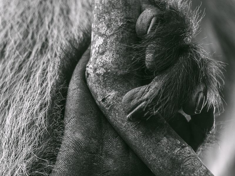 Närbild på colobus fingrar. Fröstad Naturfoto. Uganda