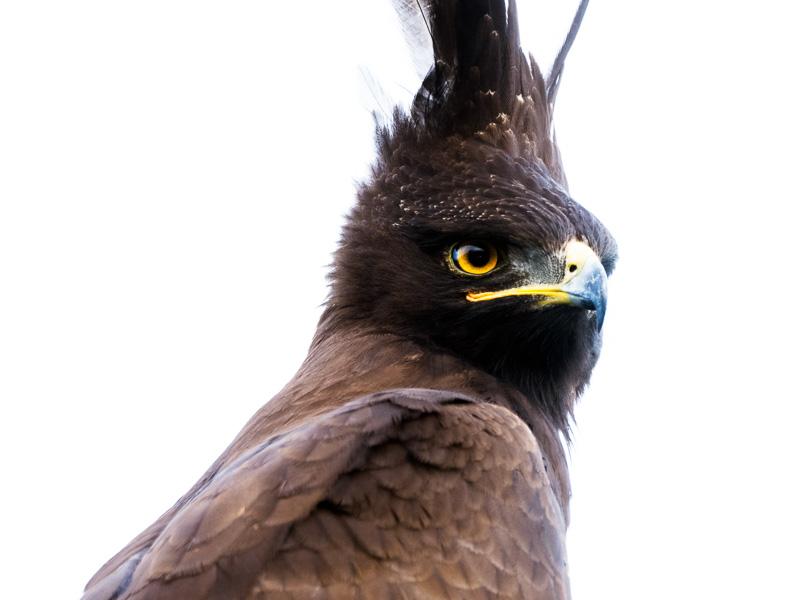 Tofsörn, Uganda. Fröstad Naturfoto.