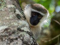 Vervet monkey. Uganda. Fröstad Naturfoto.