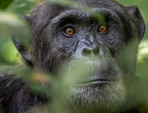 World Chimpanzee Day 2019