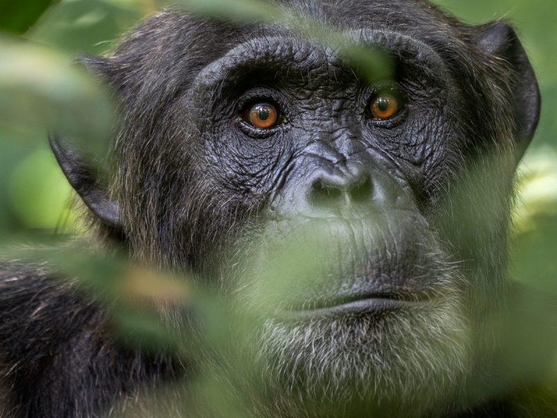 Närbild av schimpans, Uganda.