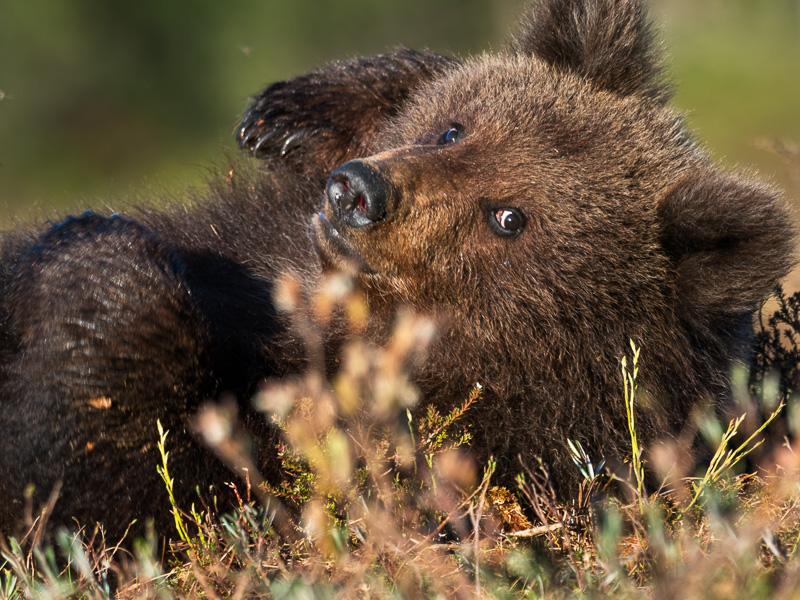 Björnunge gottar sig på myrmarken.
