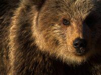Närporträtt av björnunge. Finland.