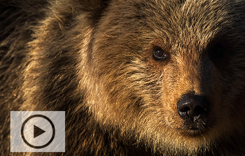 Naturfilm Finland, björn & tajga.