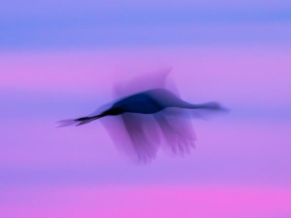 Tranar som flyger som fotogarferats med lång slutartid.
