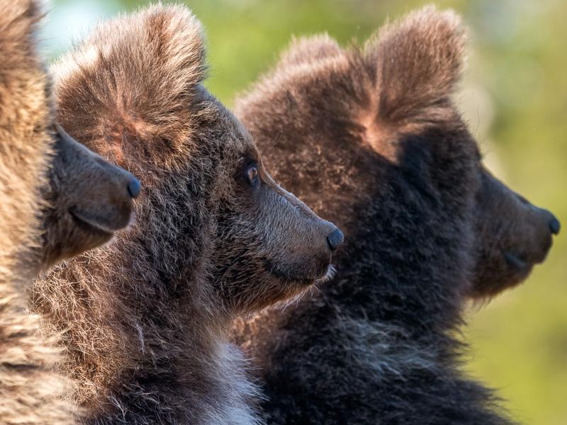 Tre björnungar. Finland.