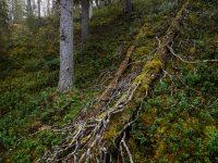 Vacker urskog. Finland.