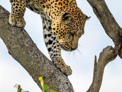 Leopard klättrar ner för ett träd.
