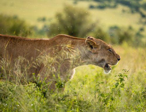 Masai Mara, Kenya – ett urval med bilder.