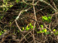Leopard med byte.