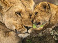 Lejonhona och hennes unge.