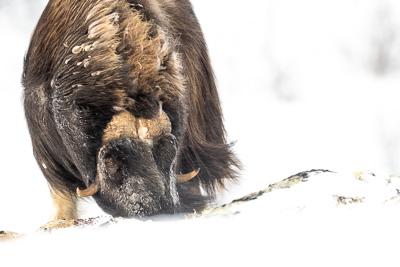 Förhistoriska jättar av is och snö