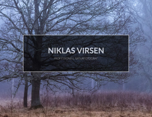 Eken & morgondimma – Om vitbalans & olika perspektiv i naturfotografering.