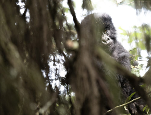 Följ med till bergsgorillorna i sydvästra Uganda.
