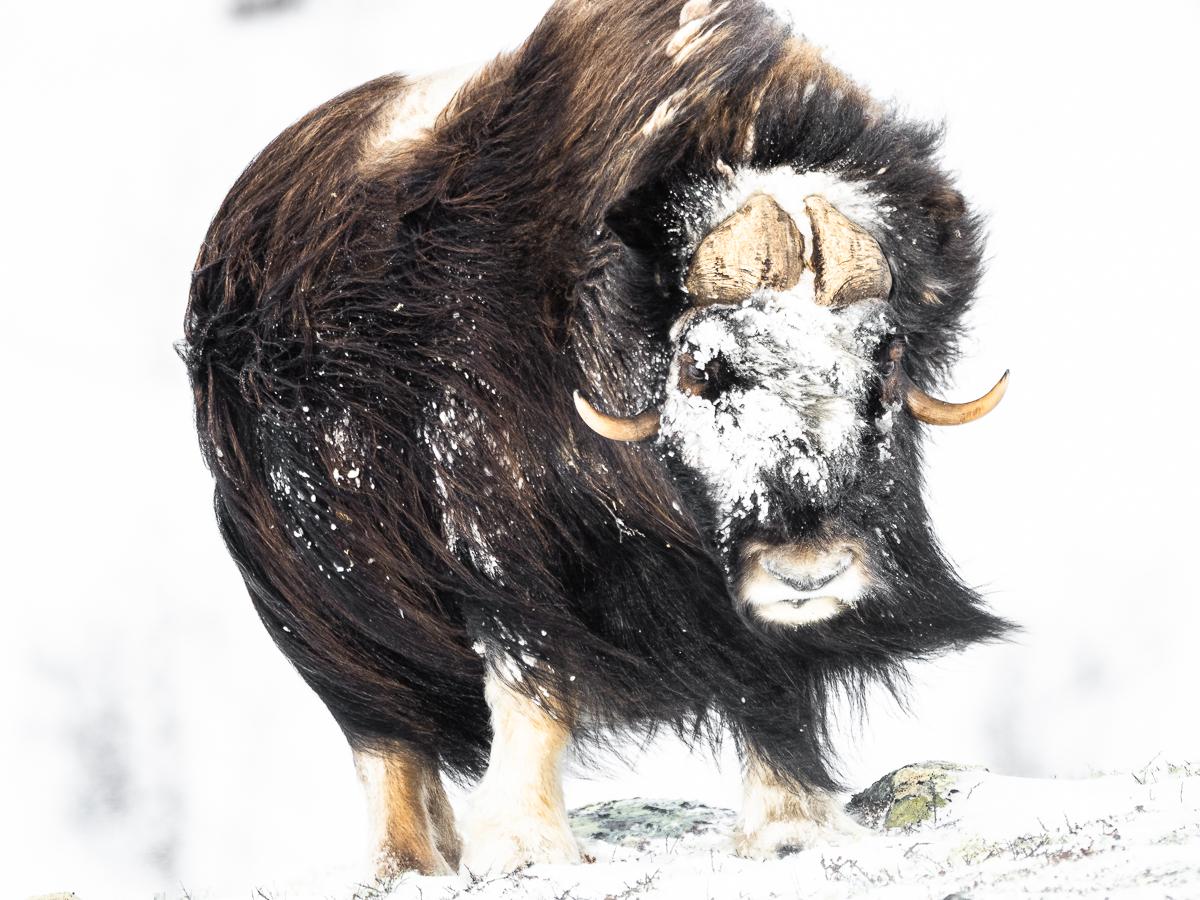 Myskoxe med snö_Dovrefjell2020