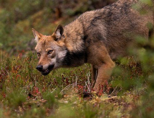Vargmöte på björnresa i vilda Finland – Helene Antonsson & Andreas Petersson.